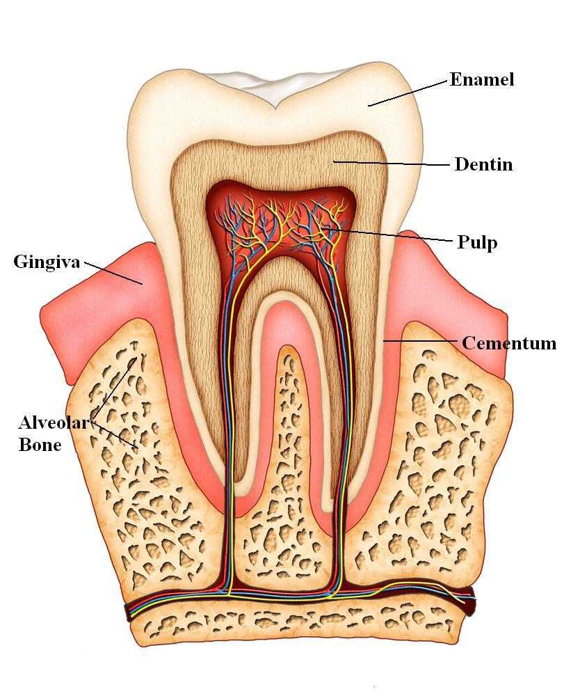 Anatomy of a tooth/Childs diet | Kid Focus Dentistry